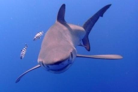 Stamp: Azoren – Pico – Blauwe Haai