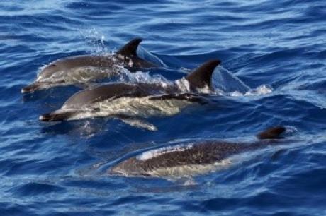 Stamp: Azoren – Pico – Gewone dolfijn