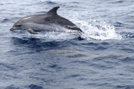 Stamp: Azoren – Pico – Atlantisch vlekdolfijn