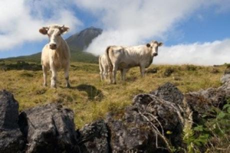 Stamp: Azoren – Pico – Koeien voor de vulkaan