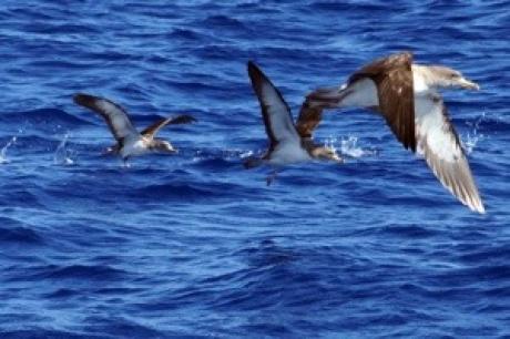 Stamp: Azoren – Pico – Kuhls Pijlstormvogel