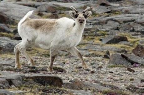 Stamp: Spitsbergen – Rendier