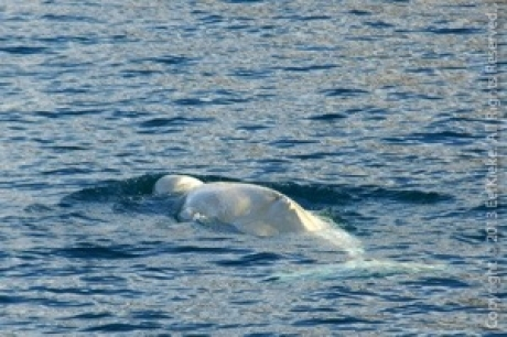 Stamp: Spitsbergen – Beluga