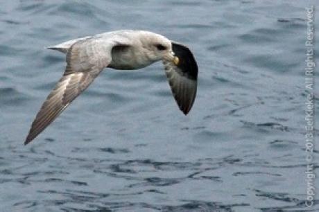 Stamp: Spitsbergen – Stormvogel