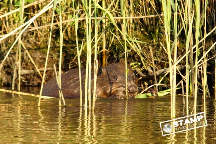 Wildlife spotten in eigen land! Bevers!