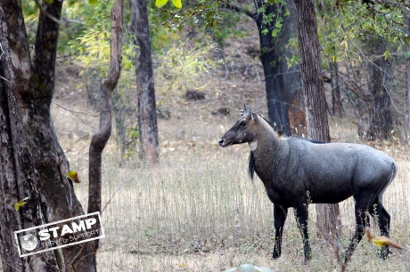Stamp: India – Bandhavgarh NP – Nilgai