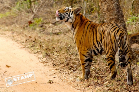 Stamp: India – Bandhavgarh NP – Tijger