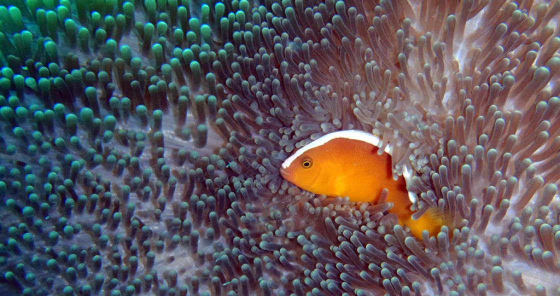 18 – Clownfish – Kapalai – Borneo – Malaysia