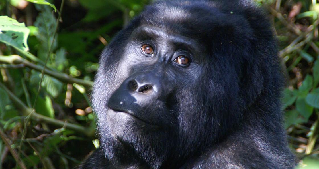 07 – Gorilla – Bwindi NP – Uganda – Afrika
