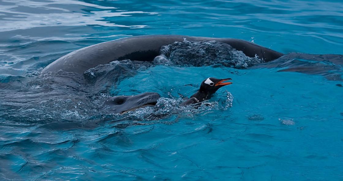 15 – Leopard Seal – Waterboat Point – Antarctica
