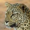 16 – Leopard – Serengeti NP – Tanzania