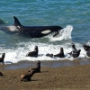 19 – Orca – Punta Norte – Argentina