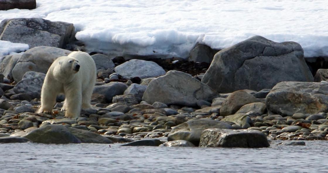 12 – Polar bear – Virgohamna – Spitsbergen
