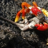 11 – Sally Lightfoot Crab – Galapagos – Ecuador